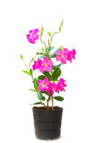 Mandevilla (Dipladenia) in the pot Royalty Free Stock Photography