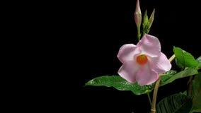 Mandevilla kwiat Timelapse zdjęcie wideo