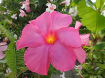 The mandevilla is a plant of south america that fears frost. The photo of the pink mandevilla is in contrast on the bottom of the dark green foliage Stock Photos