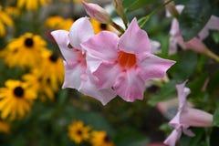 Mandevilla, plante tropicale colorée lumineuse photos libres de droits