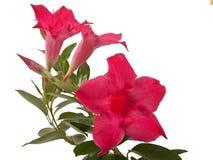 Mandevillabloemen stock foto's
