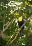 Mandibled Toucan. A Mandibled Toucan sits in a tree in the tropical Costa Rica Stock Photo