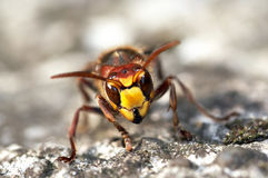Mandibles of giant hornet Royalty Free Stock Images