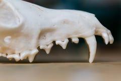 Mandibola superiore della volpe del cranio che si trova su una tavola di legno La pittura colorata macchia l'acrilico e gli acque Fotografia Stock