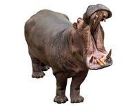 Mandibole di apertura dell'ippopotamo sui precedenti bianchi Immagine Stock