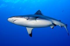 Mandibole di uno squalo di grey pronte ad attaccare il ritratto alto vicino del underwater fotografia stock libera da diritti