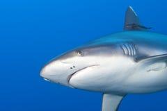 Mandibole di uno squalo di grey pronte ad attaccare il ritratto alto vicino del underwater Immagini Stock