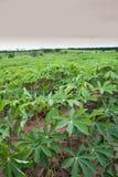 Mandioca Imagem de Stock