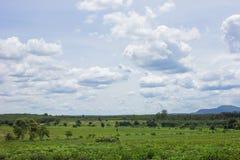 A mandioca ajardina a exploração agrícola Fotografia de Stock