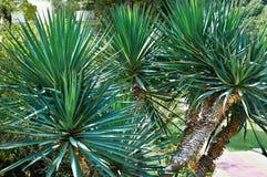 Mandioca da palma no arboreto imagem de stock royalty free