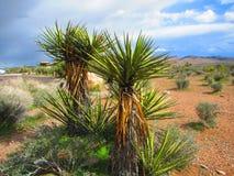 A mandioca do Mojave planta a garganta vermelha Nevada da rocha Foto de Stock
