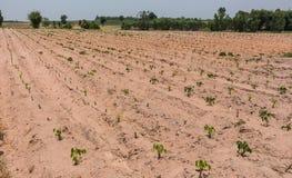A mandioca pequena da exploração agrícola da mandioca, gota industrial de Tailândia imagens de stock