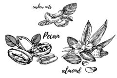 Mandlar, pecannöten och kasjuer skissar illustrationer Hand drog illustrationer som isoleras på vit bakgrund vektor illustrationer