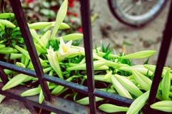 Mandona lilly blomma Royaltyfri Foto