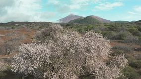 Mandorla che sboccia nella valle di lava vulcanica al piede del vulcano Teide Tenerife archivi video