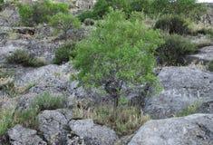 Mandorle sulla montagna Sulaiman-Too fotografie stock libere da diritti