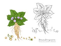 Mandragora plant. Colored and outline set  vector illustration. Stock Image