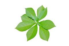Mandrake leaves isolated on white Stock Image