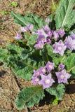 Mandrake mandragora officinalis Stock Photo