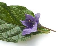 Mandrake; Mandragora officinarum Zdjęcia Stock