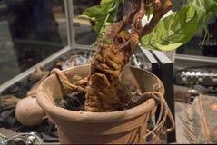 Free Mandrake Plant Display Stock Photography - 112226152