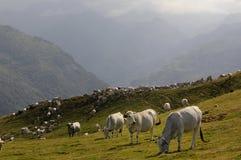 mandria di mucche Fotografie Stock
