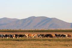 Mandria di mucche Fotografia Stock Libera da Diritti