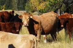 Mandria di mucche Immagini Stock