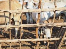 Mandria di mucche Fotografia Stock