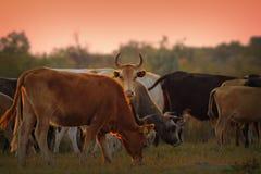 Mandria di mucche al crepuscolo Fotografie Stock