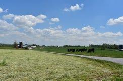 Mandria di mucche che pasce accanto ad una strada nel paese dell'azienda agricola immagine stock