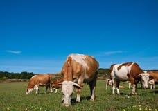 Mandria di mucche che pasce sul campo di estate Fotografia Stock Libera da Diritti
