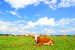 Mandria di mucche in natura Fotografia Stock