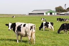Mandria di mucche nel pascolo dell'azienda agricola Fotografie Stock Libere da Diritti