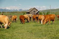 Mandria di mucche nell'ora legale felice in Alberta del sud, Canada immagini stock libere da diritti