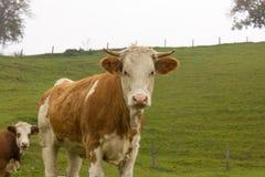 Mandria di mucche su un pascolo della montagna Colline di autunno Immagine Stock Libera da Diritti