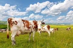Mandria di mucche sul campo di estate Fotografia Stock Libera da Diritti