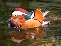 Mandrian Duck 2 Stock Photo