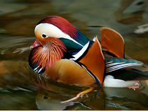 Mandrian Duck. Asian member of the Wood Duck Family the Mandarin Duck Royalty Free Stock Photography