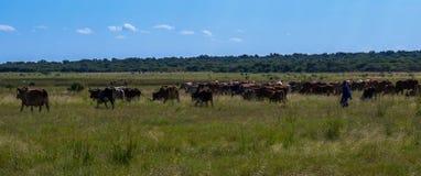 Mandriano africano e suo il bestiame che escono pascere Fotografia Stock