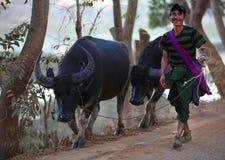 Mandriano con i suoi bufali nel lago Inle, Myanmar Fotografia Stock