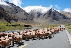 Mandriano tibetano Fotografia Stock Libera da Diritti
