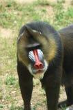 mandril Африки Стоковая Фотография RF