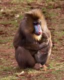 Mandril Stock Photo