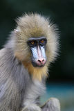Mandril Royalty Free Stock Photography