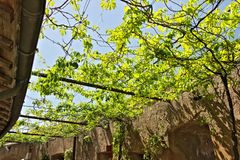 Mandril canadense da videira com folhas verdes fotos de stock