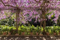 Mandril com a glicínia dos potenciômetros e das flores fotos de stock royalty free