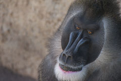 Mandril Portrait Royalty Free Stock Images
