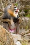 Mandril (sfinx Mandrillus) Stock Foto