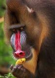 Mandril som äter bananen Arkivbild